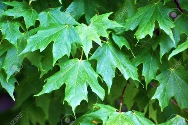 Fresh Green Leaves Texture