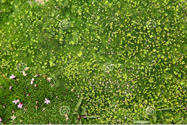 alpine moss texture