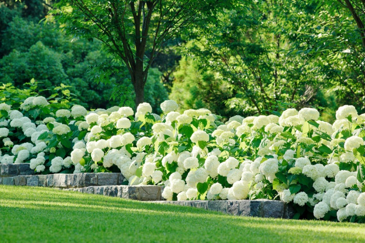 White Hydrangea Plants