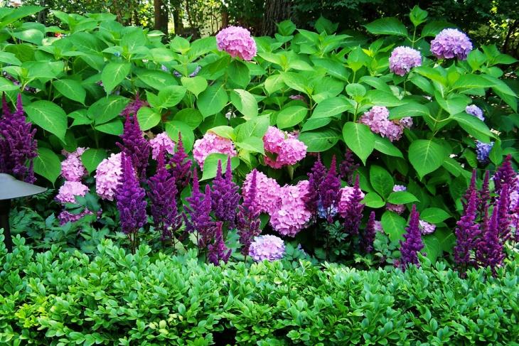 Purple Hydrangea Garden