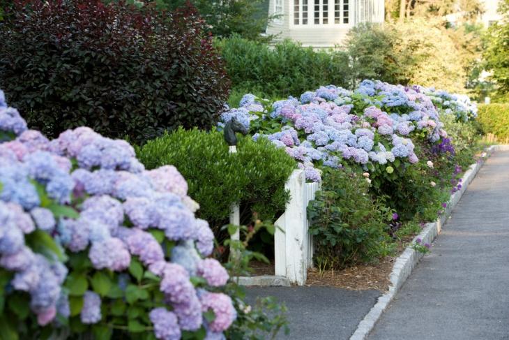 Hydrangea Shrub Garden