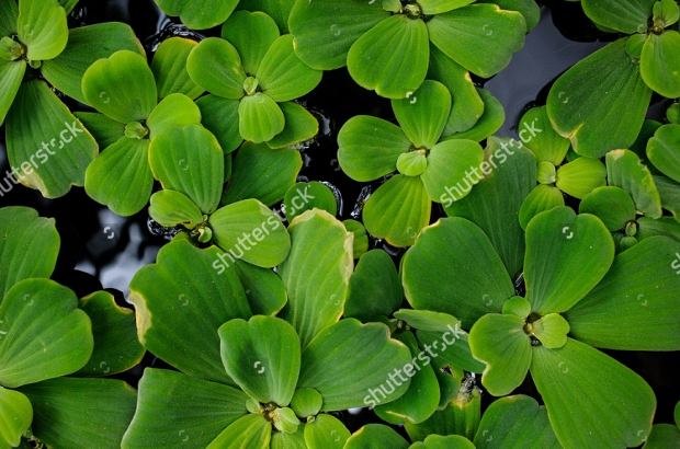 Pistia Green Plant Texture