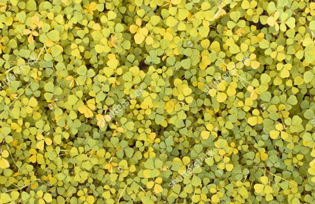 yellow creepy sorrel texture