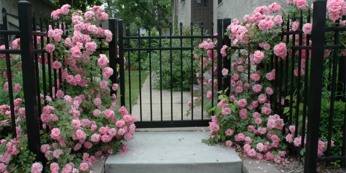 Rose and Shrubs