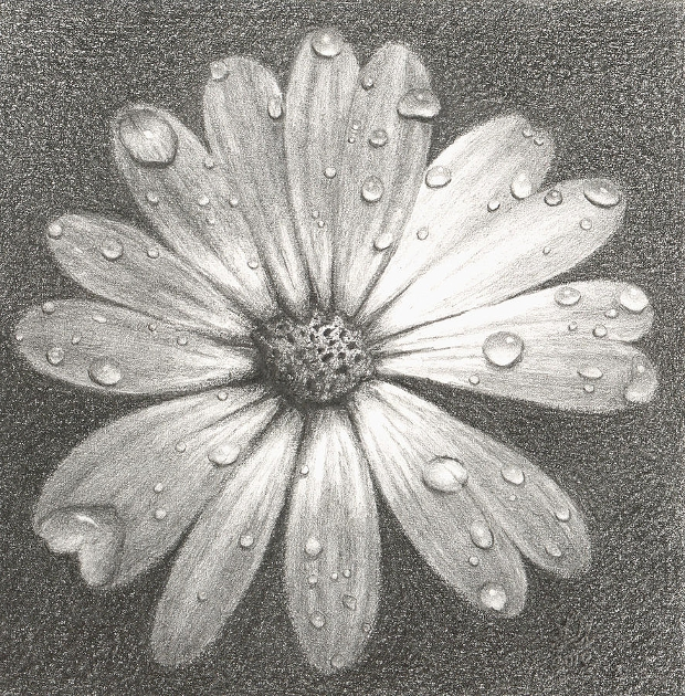 daisy flower pencil drawing