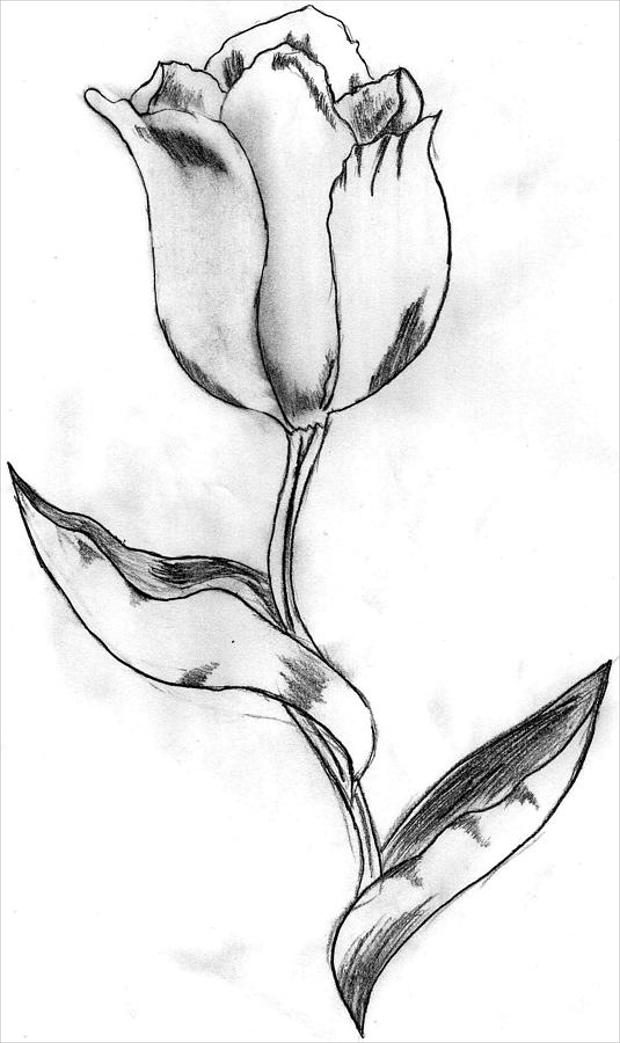 Tulip Drawing Simple