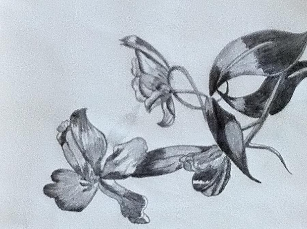 tulip flower pencil drawing