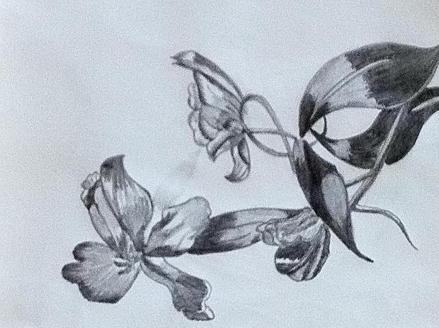 Tulip Flower Pencil Drawing