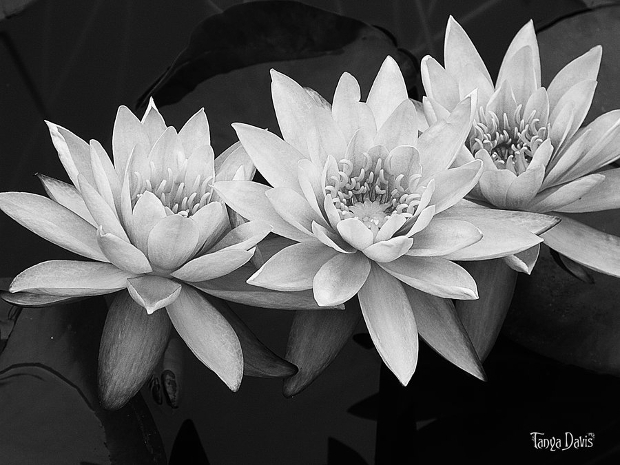 Black and White Lotus Flower Photography