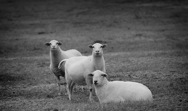 Black and White Farm Animal Photography