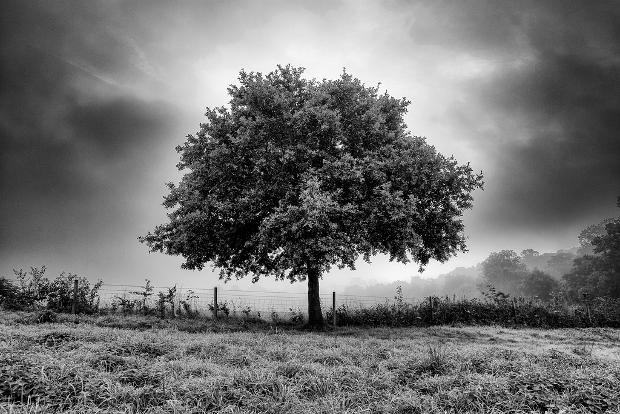 Black and White Oak Tree Photography
