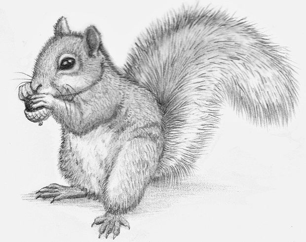 Squirrel Animal Pencil Drawing