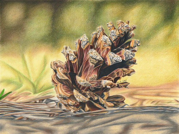 pinecone colored pencil drawing