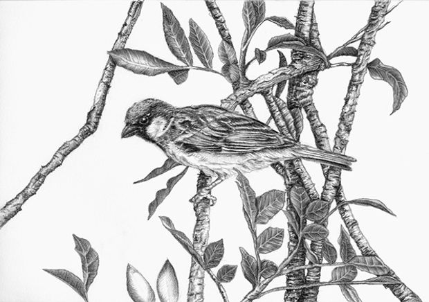 sparrow bird pencil drawing