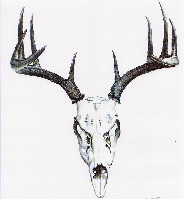 white deer skull drawing