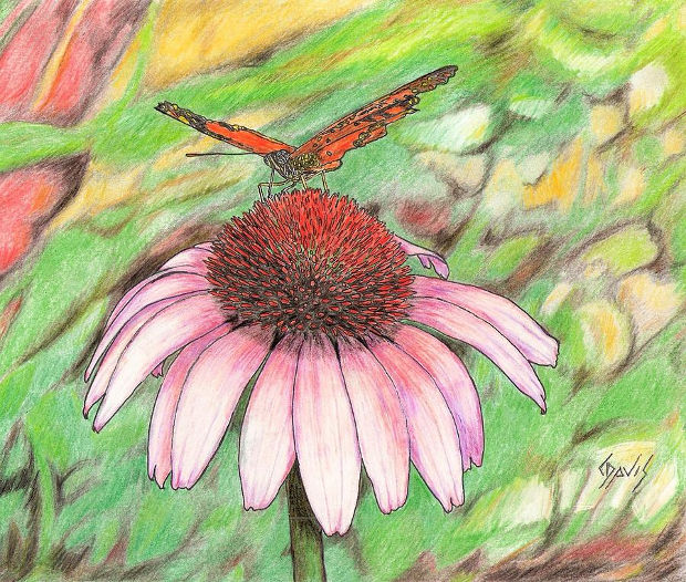 butterfly on cone flower drawing