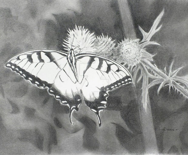 swallow tail butterfly pencil drawing