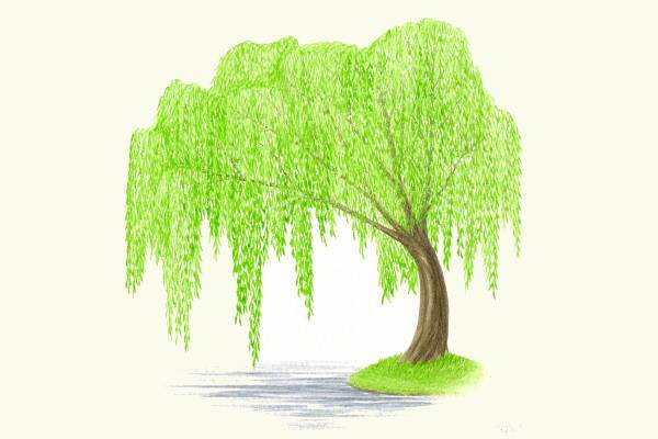 weeping willow tree clipart