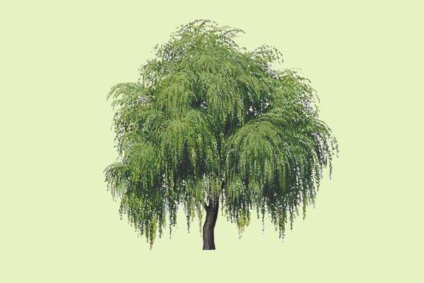 green willow tree clipart