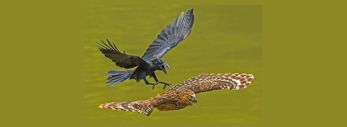 crow chasing puffy owl