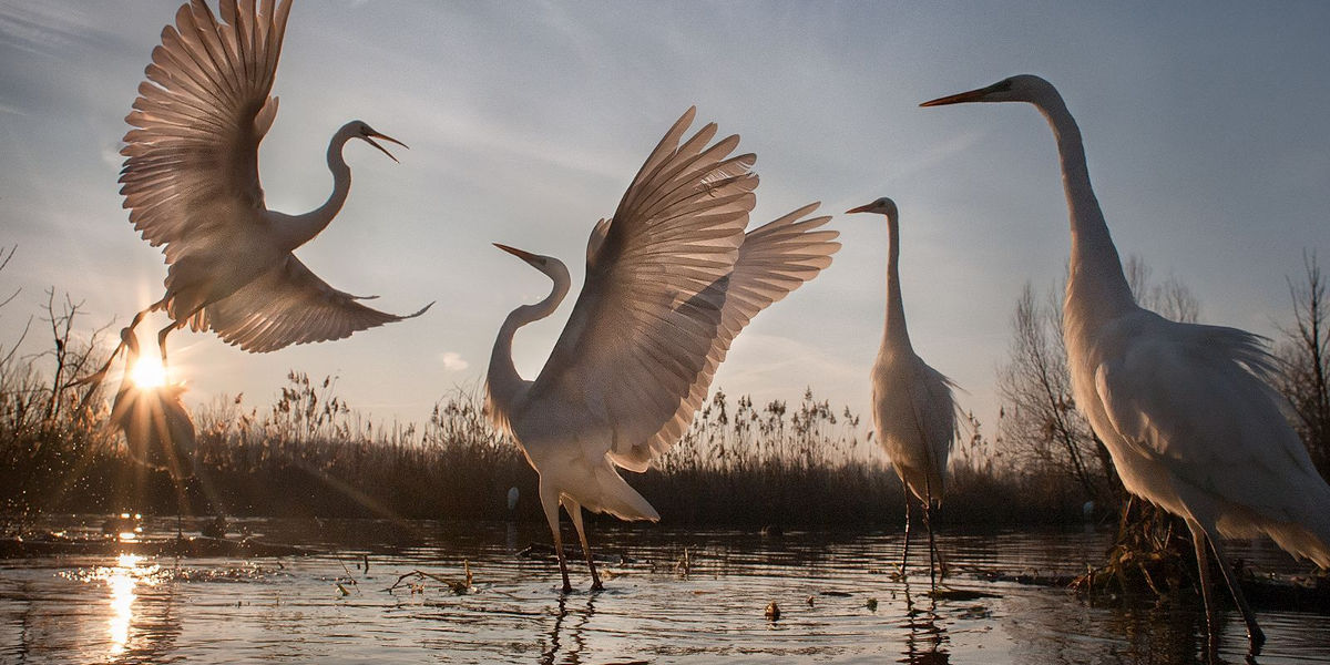 changing fortunes of the great egret