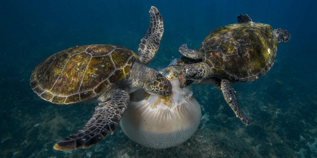 jellyfish feast