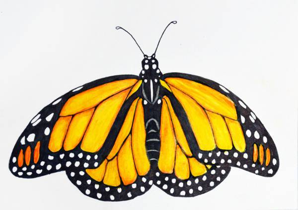 cool realistic butterfly drawing