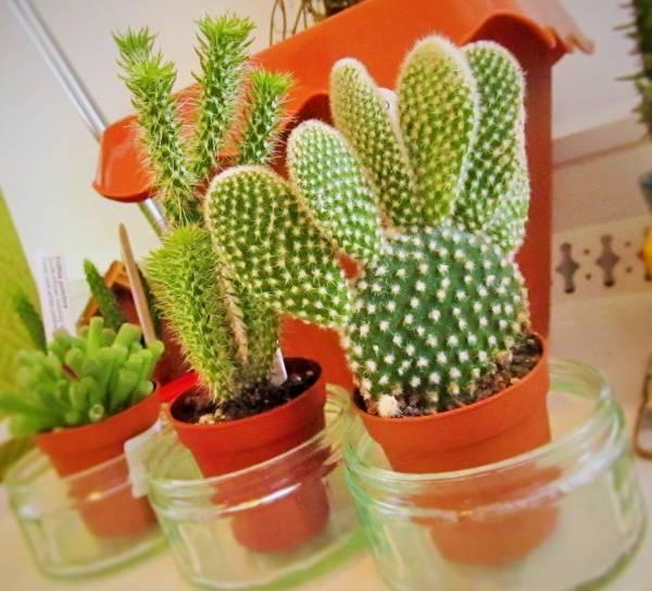 bunny ear cactus1