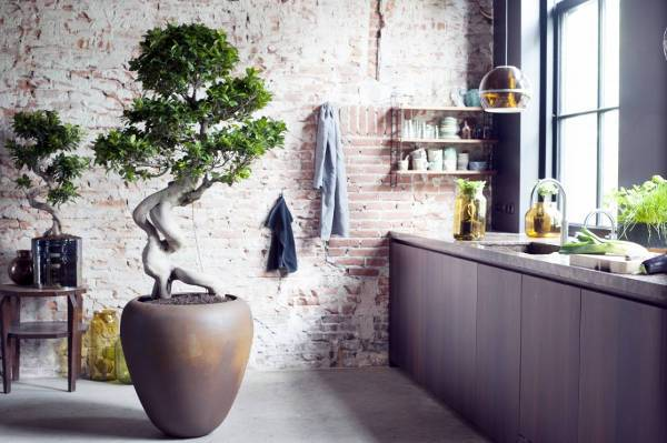 grafted ficus bonsai1