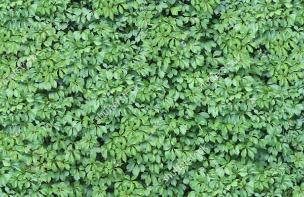 foliage seamless ivy texture