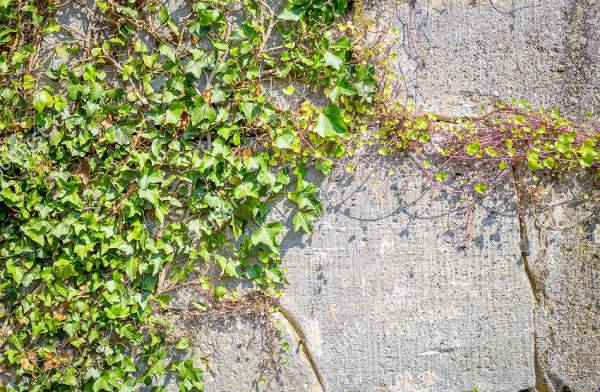 free ivy texture