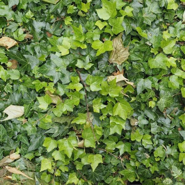 green ivy texture