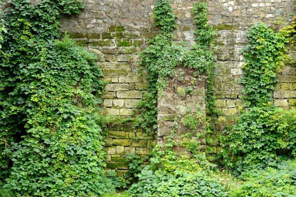 Wall Overgrown with Ivy